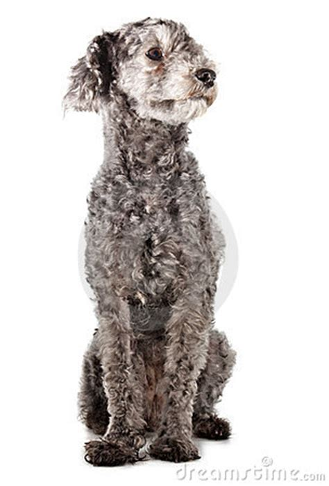 Grey Poodle Stock Images - Image: 4721594